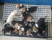 Beagle, dogs, pets, animals, for sale, kids, children, family, business, near heat, breeding, litter, puppies, money, income, sideline, dog breeding -- Dogs -- Metro Manila, Philippines